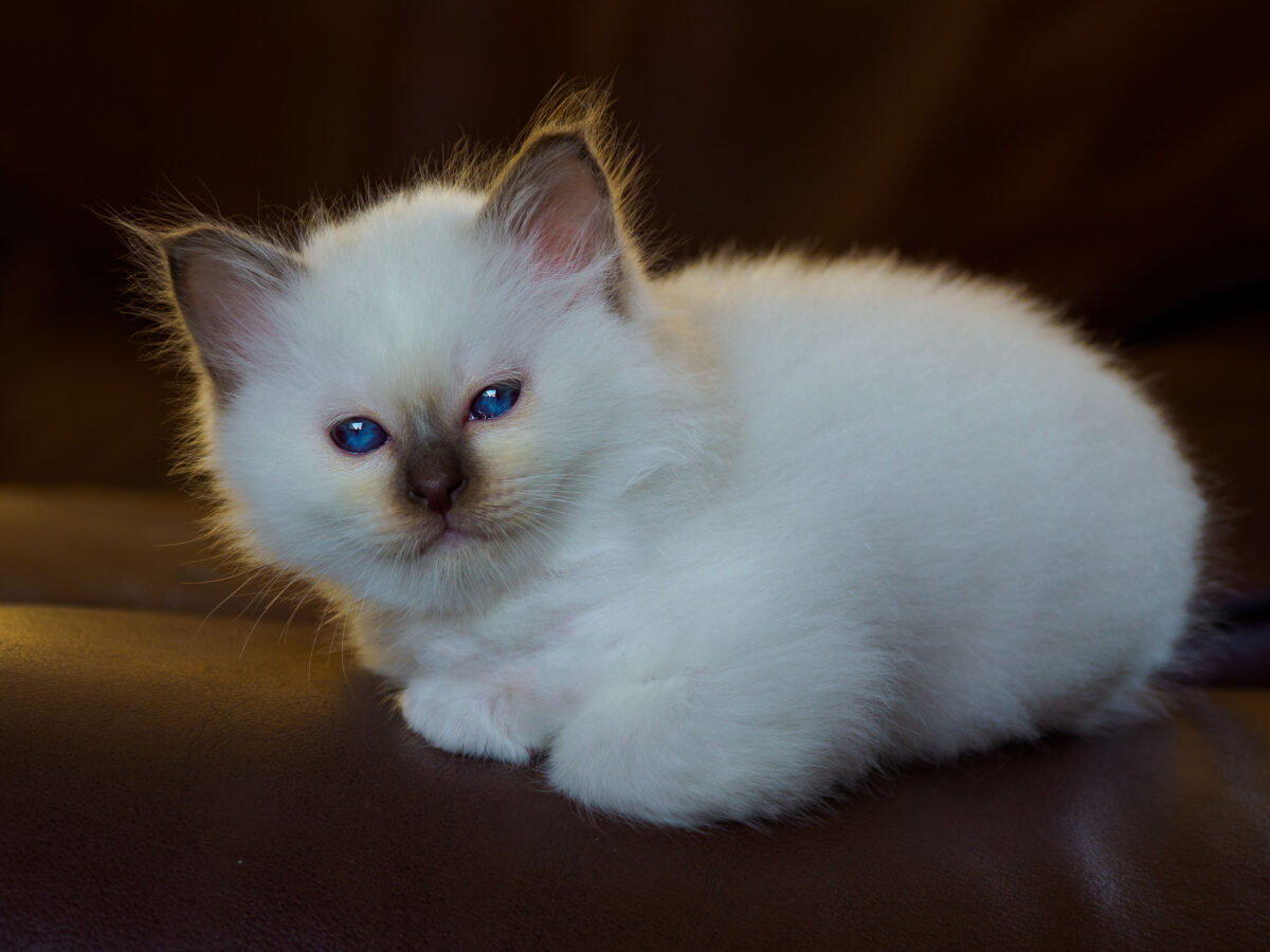 Chocolate Point Birman